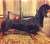 Фото в Домашние животные Вязка собак Санкт-ПетербургПредлагается для вязок молодой в Санкт-Петербурге 1