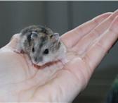 Foto в Домашние животные Грызуны Продаю джунгарских хомячков (крошечные,  в Кургане 70