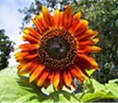 Фото в Домашние животные Растения Продаем подсолнечник крупноплодный СПК 40+ в Краснодаре 45