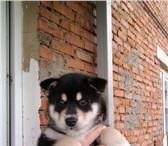 Фотография в Домашние животные Вязка собак Хаски . Рабочий молодой кабель,  ждет свою в Москве 5000