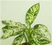Foto в Домашние животные Растения Продам диффенбахию. Очищает воздух от токсинов: в Новосибирске 0