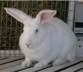 Фото в Домашние животные Грызуны Закупим кроликов на постоянной основе мясных в Санкт-Петербурге 110