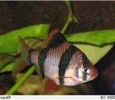 Изображение в Домашние животные Рыбки продам московских гуппи.в розницу 40рублей, в Оренбурге 0