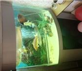 """Фотография в Домашние животные Рыбки Аквариум """"телескоп"""" на 150 литров с родной в Магнитогорске 0"""