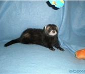 Фотография в Домашние животные Другие животные Клубные хорьки от ПЦ Animals Centre  (Екатеринбург.Родосл в Перми 7000