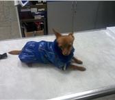 Фотография в Домашние животные Вязка собак Мини русский той-терьер хочет познакомиться в Санкт-Петербурге 1000