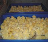 Фото в Домашние животные Птички Инкубаторная станция в с. Ягодное г.Тольятти в Тольятти 45
