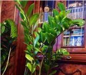 Фотография в Домашние животные Растения Продается долларовое дерево вместе с горшком. в Уфе 500