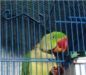 Foto в Домашние животные Птички Красивейший Александрийский попугай ждёт в Таганроге 20000