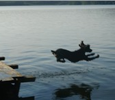 Foto в Домашние животные Вязка собак Кобель русского спаниеля приглашает на вязку.Цвет в Челябинске 1700