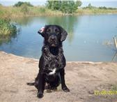 Фото в Домашние животные Вязка собак Ищем девушку для серьезных отношений, характер в Омске 0