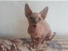 Продам кошечку Канадского сфинкса 4017892 Канадский сфинкс фото в Иркутске