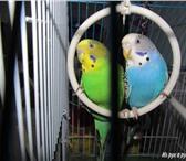 Фотография в Домашние животные Птички Продам волнистых попугаев в паре. Попугаи в Таганроге 300