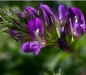 Изображение в Домашние животные Растения ООО «КУБАНЬ АГРО» предлагает к реализации:Семена в Краснодаре 200