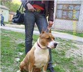 Изображение в Домашние животные Выставки собак щенки ам.стафтерьера два мальчика д.р.23.05.10г.шоу в Людиново 8000