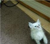 Две кошечки и один котик метисы 4413709 Другая порода фото в Екатеринбурге