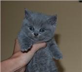 Котята Голубые британцы 4224323 Британская короткошерстная фото в Калининграде