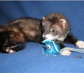 Изображение в Домашние животные Грызуны Продам домашних хорьков от клубных   производителей.Хор в Перми 7000