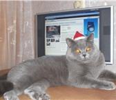 Изображение в Домашние животные Услуги для животных Очаровательный голубой с серебром кот скоттиш в Заволжье 1000