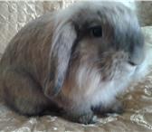 Foto в Домашние животные Грызуны Продам взрослую крольчиху. идеальна для развода в Красноярске 800