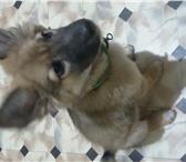 Фото в Домашние животные Отдам даром Мальчик,4 месяца,овчарка,связи с выявлением в Якутске 0