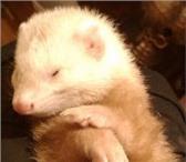 Изображение в Домашние животные Другие животные очень нужен самец на вязку, наша привита в Махачкале 0