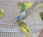 Фотография в Домашние животные Птички Продажа Волнистых попугаевПродажа Волнистых в Зеленоград 400