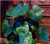 Фотография в Домашние животные Растения Продается антуриум вместе с горшком. Цветет в Уфе 350