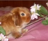 Фотография в Домашние животные Другие животные Питомник Декоративных Кроликов «Красная Жемчужина» в Владимире 6000