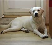 Foto в Домашние животные Найденные Пропала собака в городе Высоковск. Лабрадор-ретривер. в Высоковске 1
