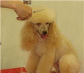 Foto в Домашние животные Стрижка собак Профессиональный грумер окажет услуги: Стрижка в Рязани 1000