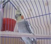 Foto в Домашние животные Товары для животных продам попугая корелла(нимфа), мальчик, 1, в Челябинске 0