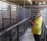 Фотография в Домашние животные Птички Куры породы Доминант полосаты, возраст 1 в Тольятти 250