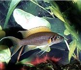 Foto в Домашние животные Рыбки Аквариумные рыбки оптом. Цихлиды. Продаю в Белокуриха 40