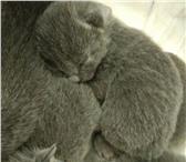 Продам котят русской голубой кошки 4317820 Русская голубая фото в Новосибирске