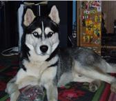 Изображение в Домашние животные Потерянные 17 марта 2010г примерно с 12:00 в районе в Оренбурге 0