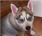 Фотография в Домашние животные Вязка собак Голубоглазый красавец мощного телосложения,окрас в Архангельске 12000