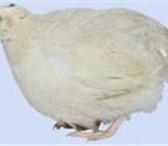 Фотография в Домашние животные Птички Перепелки белые, техасские, бройлерные, 360-370 в Оренбурге 300