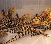 Фотография в Домашние животные Другие животные Краснодарский питомник рептилий и экзотических в Самаре 3000