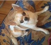 Фотография в Домашние животные Вязка собак Породистый , клейменый кобель ищет невесту.Родословная.Родители в Магнитогорске 5000