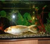 Изображение в Домашние животные Рыбки Продаётся золотой карп,   длинной 35 см.Этих в Новосибирске 1000