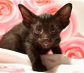 Изображение в Домашние животные Услуги для животных помет от 02.10.2010...2 кота (сил пойнт) в Новосибирске 15000