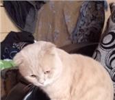 Foto в Домашние животные Вязка Опытный котик шотландский вислоухий. Окрас в Екатеринбурге 1400
