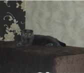 Фотография в Домашние животные Вязка Вислоухий красавчик ищет кошку для вязки. в Орле 0